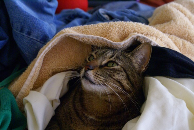 Isabel the Cat in a Laundry Pile - Image 5